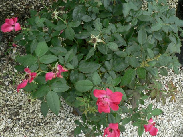 Shrubs For Sale In Citrus County Nursery Torulosa Juniper