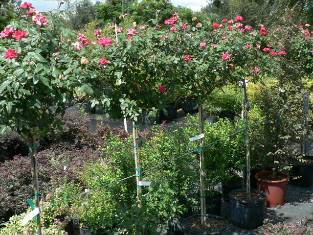 Árboles y arbustos para crecer en contenedores - maniquíes