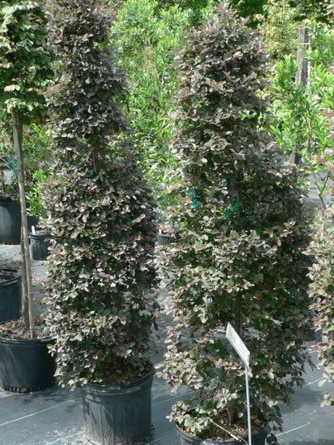Trees for Sale in Citrus County Nursery Magnolia Trees Red Cedar